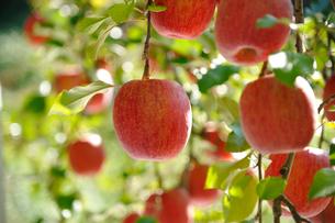 たわわに実ったリンゴ サンフジの写真素材 [FYI03274313]