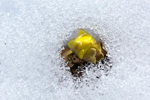 雪の中から芽を出すフクジュソウの写真素材 [FYI03274314]
