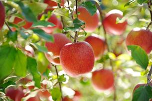 たわわに実ったリンゴ サンフジの写真素材 [FYI03274315]