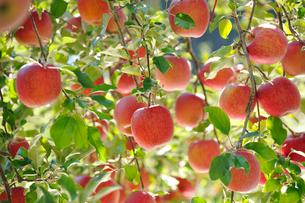 たわわに実ったリンゴ サンフジの写真素材 [FYI03274319]