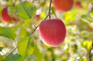 リンゴ サンフジの写真素材 [FYI03274322]