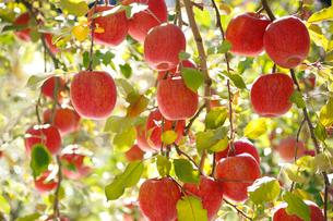 たわわに実ったリンゴ サンフジの写真素材 [FYI03274324]