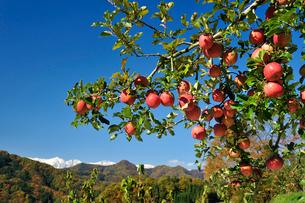 たわわに実ったリンゴ サンフジ と新雪の北アルプスの写真素材 [FYI03274325]