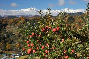 たわわに実ったリンゴ サンフジ と新雪の北アルプスの写真素材 [FYI03274326]