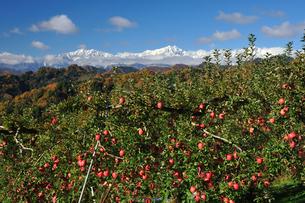 たわわに実ったリンゴ サンフジ と新雪の北アルプスの写真素材 [FYI03274331]