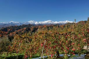 たわわに実ったリンゴと新雪の北アルプスの写真素材 [FYI03274333]