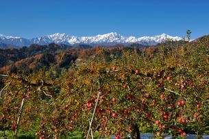 たわわに実ったリンゴと新雪の北アルプスの写真素材 [FYI03274335]