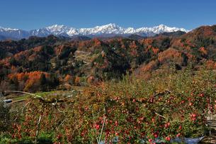 たわわに実ったリンゴと新雪の北アルプスの写真素材 [FYI03274340]