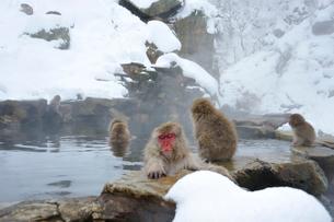 温泉の猿の写真素材 [FYI03274450]