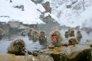 温泉の猿の写真素材 [FYI03274452]