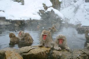 温泉の猿の写真素材 [FYI03274453]