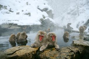 温泉の猿の写真素材 [FYI03274454]