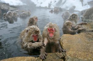温泉の猿の写真素材 [FYI03274456]