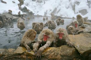 温泉の猿の写真素材 [FYI03274457]
