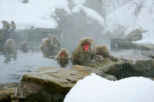 温泉の猿の写真素材 [FYI03274458]