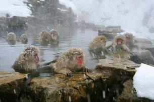 温泉の猿の写真素材 [FYI03274459]