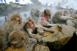 温泉の猿の写真素材 [FYI03274460]