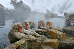 温泉の猿の写真素材 [FYI03274462]