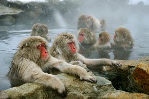 温泉の猿の写真素材 [FYI03274464]