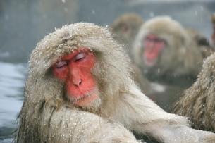 温泉の猿の写真素材 [FYI03274465]