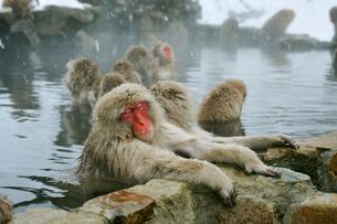 温泉の猿の写真素材 [FYI03274466]