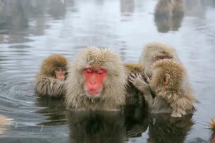 温泉の猿の写真素材 [FYI03274467]