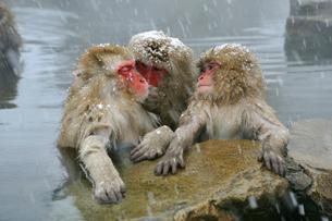 温泉の猿の写真素材 [FYI03274468]