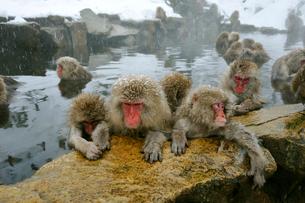 温泉の猿の写真素材 [FYI03274469]