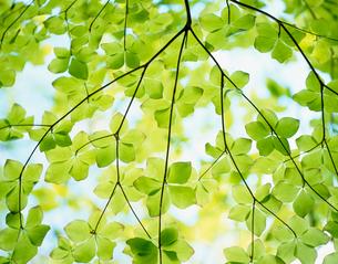 新緑(シロヤシオ)の写真素材 [FYI03274842]