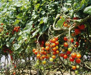 ミニトマトのハウス栽培の写真素材 [FYI03285801]