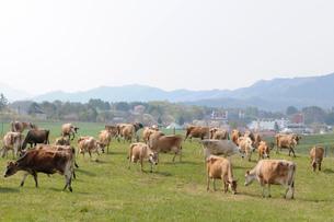 蒜山高原のジャ-ジ-牛の写真素材 [FYI03285850]