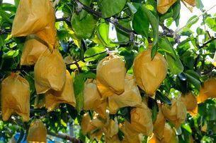 豊水梨の栽培の写真素材 [FYI03286062]