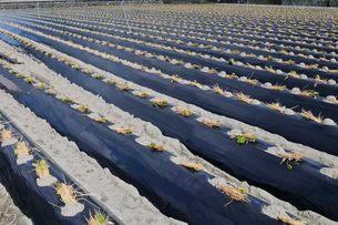 鳴門 金時サツマイモのなえ植えの写真素材 [FYI03286257]