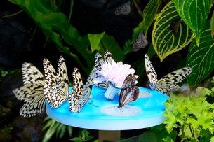 伊丹昆虫館 チョウが蜜を食べているの写真素材 [FYI03286599]