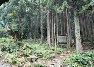 株杉の群生と杉林の写真素材 [FYI03286684]