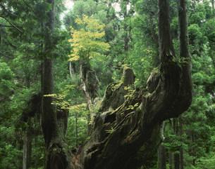 株杉と杉林の写真素材 [FYI03286688]