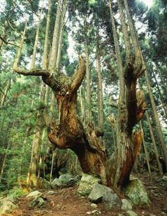 株杉の群生地 21世紀の森公園の写真素材 [FYI03286697]