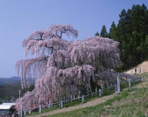 滝桜の写真素材 [FYI03286759]