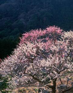 夕日に光る梅 湯河原梅林の写真素材 [FYI03286773]
