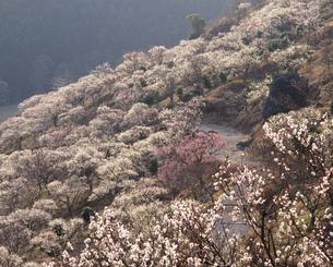 湯河原梅林 幕山公園の写真素材 [FYI03286808]