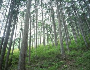 ひのき林の写真素材 [FYI03286809]