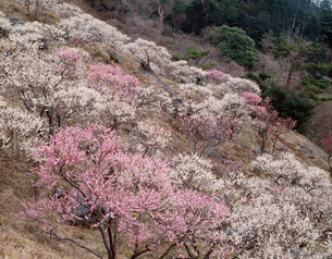 湯河原梅林 幕山公園の写真素材 [FYI03286835]