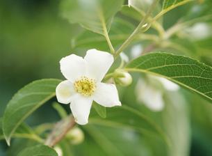 ナツツバキの花の写真素材 [FYI03288726]