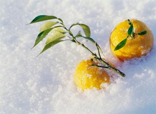 雪とユズの写真素材 [FYI03288752]
