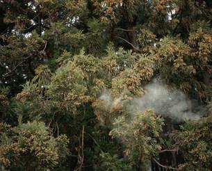 スギ花粉の写真素材 [FYI03289073]