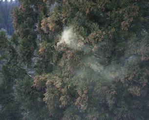 杉花粉の写真素材 [FYI03289077]