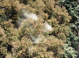 スギ花粉の写真素材 [FYI03289079]
