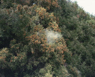 杉花粉の写真素材 [FYI03289084]