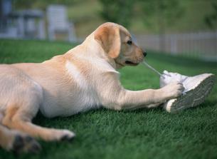 犬 ラブラドールレトリバーの写真素材 [FYI03289364]