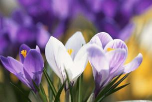 クロッカス白紫の写真素材 [FYI03289411]
